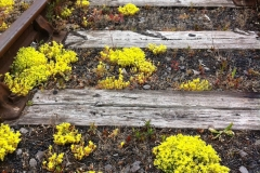 Biting stonecrop growing along the Harbour Railway next to The Cut
